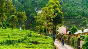 Подборщик плантации чая на пути работать в Haputale, Шри-Ланка стоковые изображения