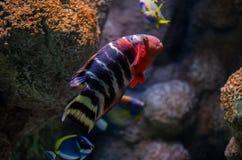 Подводное изображение кораллового рифа и тропических рыб стоковая фотография rf