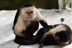 Подражатель cebus capuchin жителя Панамы бело-лицый стоковая фотография rf