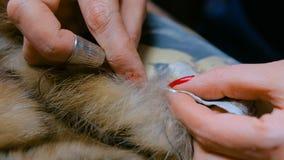 Портной ремонтируя меховую шыбу стоковая фотография rf