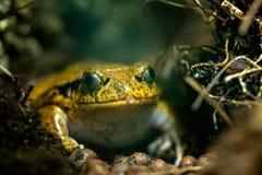Портрет большой тропической лягушки стоковое изображение