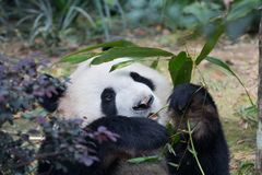 Портрет гигантской панды, melanoleuca Ailuropoda, или медведя панды Закройте вверх гигантской панды лежа и есть бамбук стоковое фото
