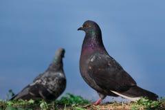 Портрет голубя против голубого фона стоковое фото rf