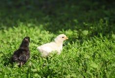 Портрет 2 желтых пасхи маленьких пушистых и черных цыпленк идя на сочную зеленую траву во дворе деревни на весне стоковые фотографии rf