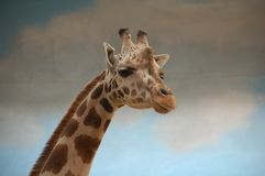Портрет жирафа в зоопарке стоковые изображения