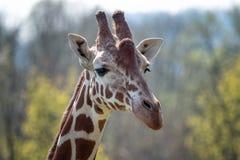 Портрет жирафа Rothschild стоковая фотография