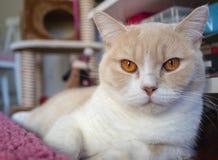 Портрет кота имбиря стоковые изображения
