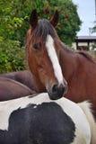 Портрет лошади в Ирландии стоковая фотография