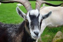 Портрет мужской козы, Ирландия стоковые фотографии rf