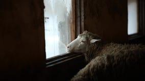 Портрет прелестных коричневых овец лижет окно Смешные овцы на ферме в стране деревни сток-видео
