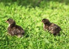 Портрет цыпленка 2 пасха маленького пушистого черного идя на сочную зеленую траву во дворе деревни на день весны солнечный стоковое фото