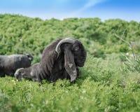 Портрет черной старой козы Англо порода Nubian отечественной козы стоковые фото