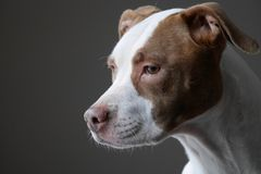 Портрет собаки питбуля смотря вне окно стоковая фотография