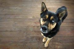 Портрет heterochromia собаки чабана на предпосылке деревянной палубы с космосом экземпляра стоковое фото