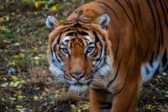 Портрет Malayan тигра стоковые изображения