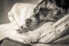 Порода Burbul собаки спать на подушке на конце-вверх кровати Фото черно-белого старого grunge винтажное стоковые фото