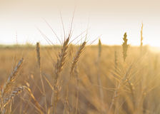 Поле пшеницы,field of wheat Stock Images