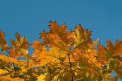 Оrange, kolor żółty i jesień liście, Błękitni, Piękni, Obraz Royalty Free