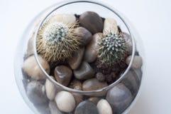 Ð在一个玻璃花瓶的¡ actus 免版税库存照片