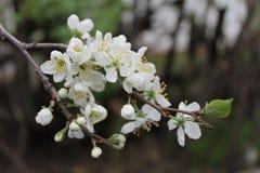 Ð- Bündel des Pflaumenbaums im Frühjahr blühend stockfoto