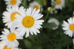 Ð- Blumenstrauß der Feldkamille stockbild