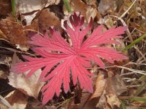 Ð  utumn czerwieni liść Obraz Stock