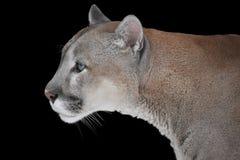 Ð ¡一头野生山美洲狮的olor画象在黑背景的 免版税库存照片