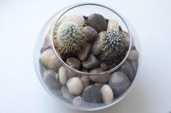 Ð-¡ actus i en glass vas Fotografering för Bildbyråer