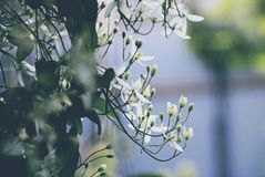 Ð ¡ de Clematissenligusticifolia var van lematisvitalba stock afbeelding