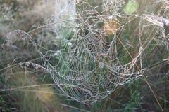 Ð ¡ obweb wildlife wit-rusland Stock Afbeelding