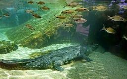 Ð ¡ rocodile gharial马来鳄鱼类schlegelii 比在基地的宽度长的狭窄的枪口是3-4 5次 免版税图库摄影