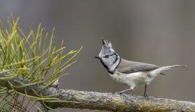 Ð-¡ stand Meise, Vogel, Vogel mit Kamm, Vogel in der Natur still Stockfoto