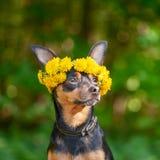 Ð-¡ Utewelpe, ein Hund in einem Kranz des Frühlinges blüht auf einem natürlichen Ba lizenzfreie stockfotos