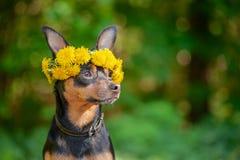 Ð-¡ Utewelpe, ein Hund in einem Kranz des Frühlinges blüht auf einem natürlichen Ba stockfoto