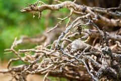 Ð-¡ verlieren oben von wenigem Teil gebogenen und verdrehten bloßen Wurzeln des gefallenen Baums, Russland stockbilder