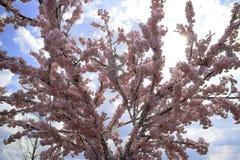 Ð ¡ wiek dla ptaka Menchie Sakura drzewo fartuch obraz stock