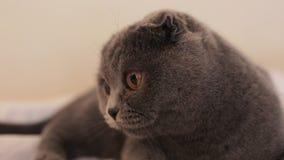 движение медленное Красивый шотландский кот створки лежит на кресле дома видеоматериал