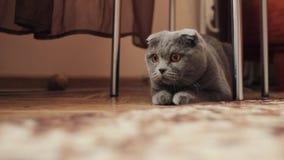движение медленное Любопытный серый шотландский кот створки подготавливает сыграть игру видеоматериал