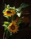двойка слънчогледи. A pair of sunflowers placed in a clay pot outside stock photography