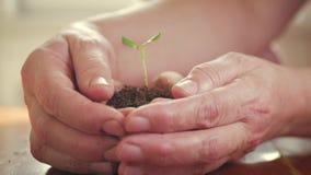 Девушка держа молодое зеленое растение в руках Концепция и символ роста, заботы, защищая землю, экологичность видеоматериал