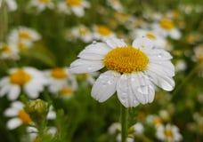 деталь цветка маргаритки с падениями росы на своих белых лепестках на предпосылке зеленых листьев и других цветков маргаритки стоковое изображение