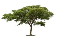 Дерево изолированное на белой предпосылке с путями клиппирования для дизайна сада стоковое фото