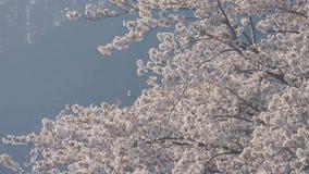 Дерево Сакуры дуя в ветре видеоматериал