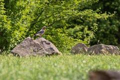 Джэй-птица сидя на камне в траве стоковые фото