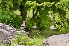 Джэй-птица сидя на камне в траве стоковая фотография rf