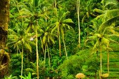 Джунгли сочного зеленого дождевого леса поля террасы риса тропические в южном восходе солнца утра Eeast азиатском стоковые фотографии rf