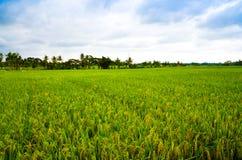 Джунгли сочного зеленого дождевого леса поля риса тропические в южном восходе солнца утра Eeast азиатском стоковые фото