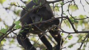 Дикая обезьяна ревуна есть листья для того чтобы выдержать видеоматериал