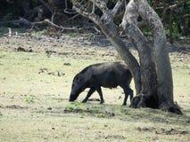 Дикий кабан идя в лес в туманном утре Живая природа в своей естественной среде обитания стоковое фото rf