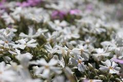 """Ð ` Ð?Ð"""" † Ð Ñ-‹Ðµ Ñ ² Ð?Ñ 'Ñ ‹weiße Blumen Stockbilder"""
